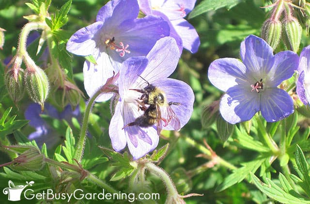 Wild geraniums with a bee