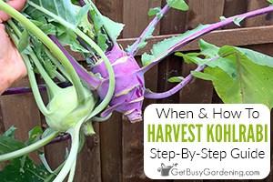 Harvesting Kohlrabi - Everything You Need To Know
