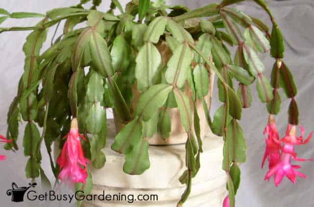 Christmas holiday cactus plant