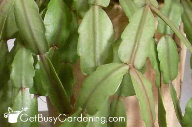 Rounded edges on Christmas cactus leaves