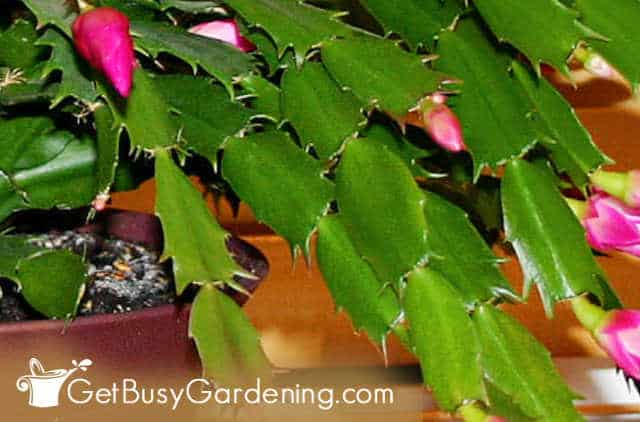 Spiked edges on Thanksgiving cactus leaves