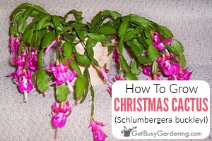 How To Care For A Christmas Cactus Plant (Schlumbergera buckleyi)