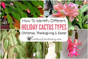 Christmas, Thanksgiving, & Easter Cactus: How To Tell Them Apart
