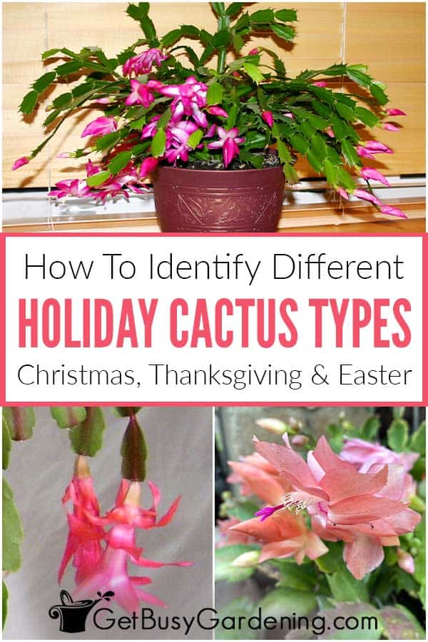 How To Identify Different Holiday Cactus Types Christmas, Thanksgiving & Easter